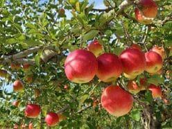 リンゴや酢キャベツも! 現役医師がやっている「ご長寿マル秘健康法」