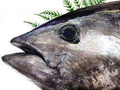 「クロマグロ大豊漁」を素直に喜べない理由とは?