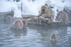 世界で唯一!「温泉入浴する野生の猿たち」地獄谷野猿公苑