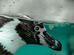 """【動画あり】胸元をくすぐられた子ペンギンの""""鳴き声""""が衝撃!"""
