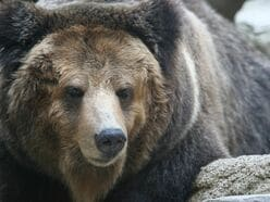 ドングリ大凶作で日本各地に出没中!狂暴化クマに「殺されない」5つの心得