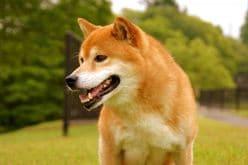 【動画】目が本気!食欲旺盛な柴犬がとった行動とは?