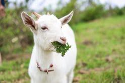【動画】まるでリアル『ハイジ』!?犬と子ヤギのじゃれあう姿が癒し全開