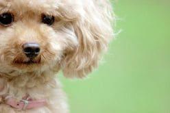 浜田雅功は、トイプードル! 芸能人に「人気の犬種」ベスト3は?