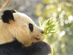 シャンシャンお披露目で大ブーム!「上野動物園のパンダたち」