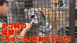 【ライオン、トラ】ネコ科の猛獣に「ちゅ~る」をあげてみた!