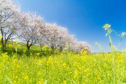 ケツメイシの『さくら』は3位! 平成の「春の歌」ナンバーワンは?