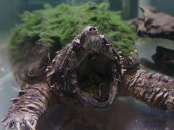 的場浩司『池の水ぜんぶ抜く』巨大ワニガメ手づかみに住民が拍手喝采