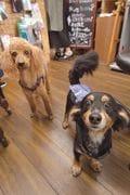 (左)カンロ(♂/5歳)トイ・プードル。看板犬歴:1年 。(右)マメ(♂/8歳)ダックスフンドとパピヨンのミックス。看板犬歴:1年。