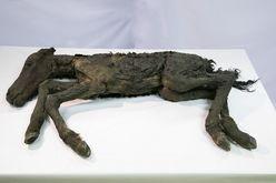 """グロ画像注意! 約4万年前の「古代仔ウマ」完全体冷凍標本を""""世界初公開"""""""